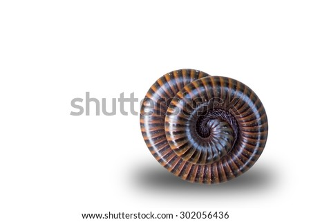 millipede  coil on isolate white background