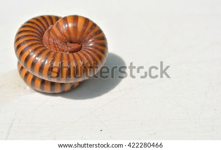 Millipede rolled into a circle on the floor - stock photo