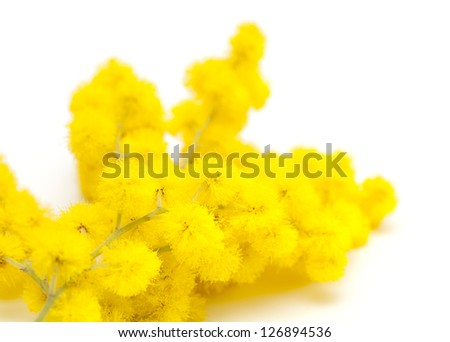 mimosa over white - stock photo