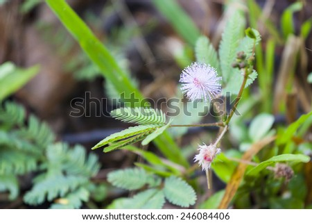 Mimosa pudica, Sensitive plant flower with bug - stock photo