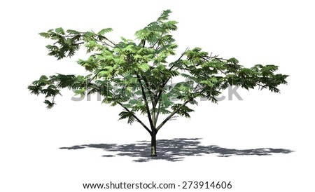 Mimosa tree - isolated on white background
