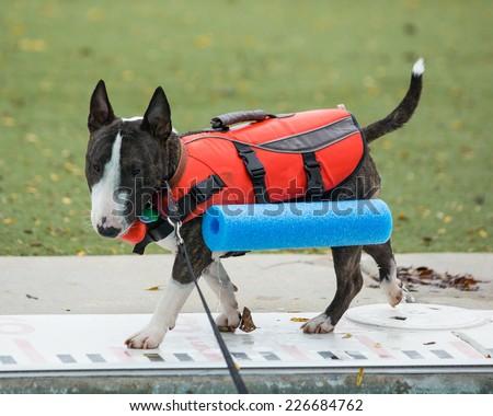Mini Bull Terrier walking around the pool - stock photo