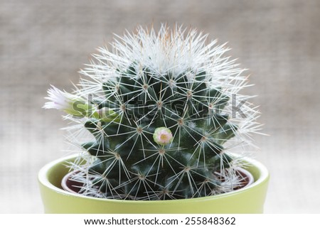 Mini cactus in bloom close up - stock photo