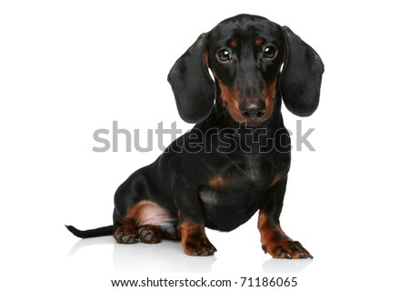 Mini dachshund, portrait on a white background - stock photo