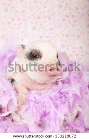Mini pocket teacup piglet with feather boa sitting inside large cup