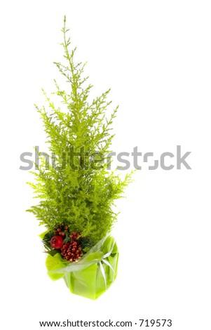 mini potted christmas tree - stock photo