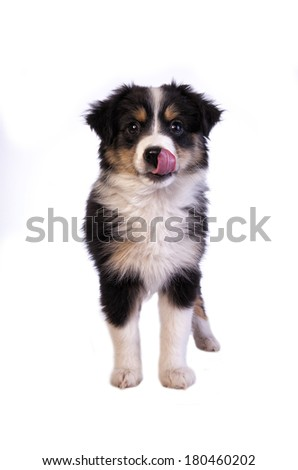 Miniature Australian Shepherd dog standing licking face isolated - stock photo