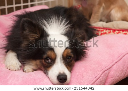 Miniature Australian Shepherd rests on a pink pillow with a forlorn look on his face - stock photo