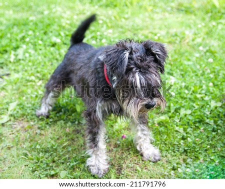 Miniature black and silver schnauzer - stock photo