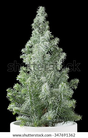 Miniature christmas tree in a white pot on black - stock photo