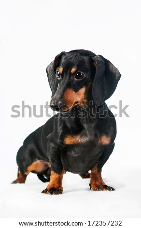 Miniature dachshund isolated on white - stock photo
