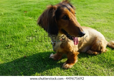Miniature dachshund lawn dog smile  - stock photo
