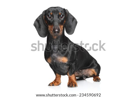 Miniature dachshund posing on white background - stock photo