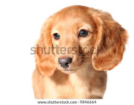 Miniature dachshund puppy - stock photo