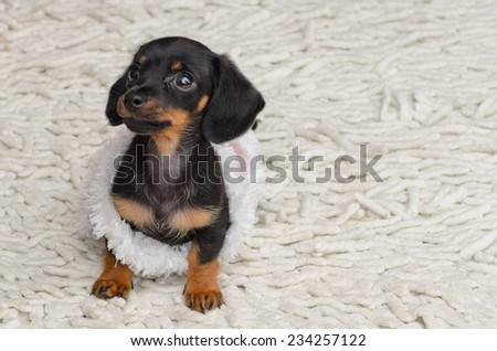 Miniature dachshund sausage dog puppy, this cute dog was photographed in Yorkshire and is a much loved family pet, sat on a carpet in the lounge at christmas and has been playing with christmas tinsel - stock photo
