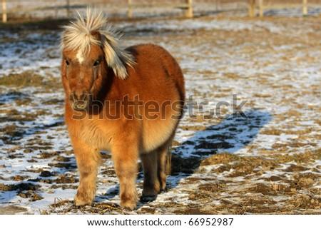 Miniature Horse - stock photo