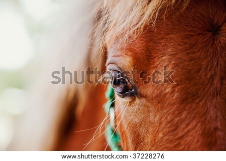 miniature horse filly with eye in selective focus - stock photo