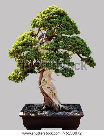 Miniature japanese bonsai tree isolated against grey and standing in small pot - stock photo