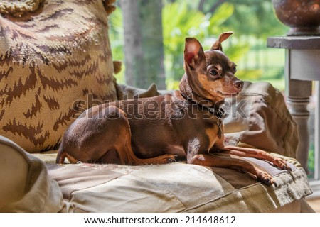 Miniature Pincher dog luxuriously laying down on armchair in sunlight looking regal alert relaxed content calm comfortable - stock photo