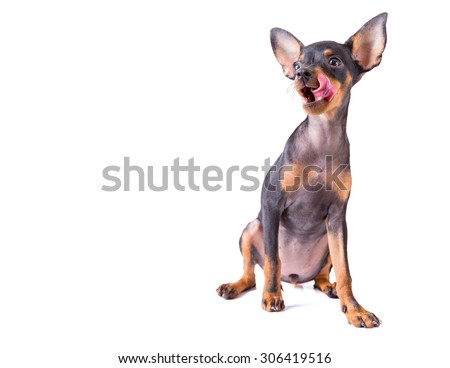 miniature pinscher dog protruding tongue when see food - stock photo