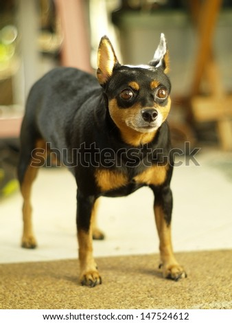 miniature pinscher playing outdoor on a sunny day