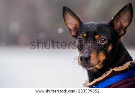 Miniature Pinscher. Portrait of a Miniature Pinscher. Winter.