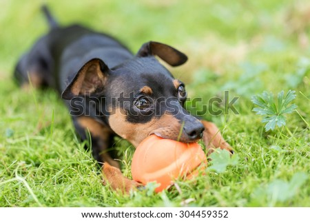 Miniature Pinscher puppy playing with a ball in the grass - stock photo