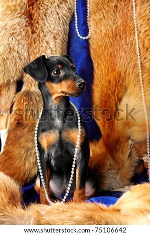 Miniature Pinscher puppy sit on a fox fur - stock photo