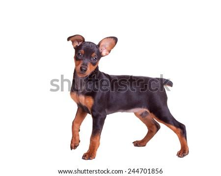 Miniature Pinscher Puppy - Stock Image - stock photo