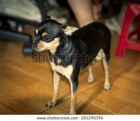 Miniature Pinscher 2 years old