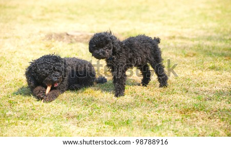 Miniature poodle and adorable toy poodle puppy enjoying some fresh air and sunshine in the early Spring. - stock photo