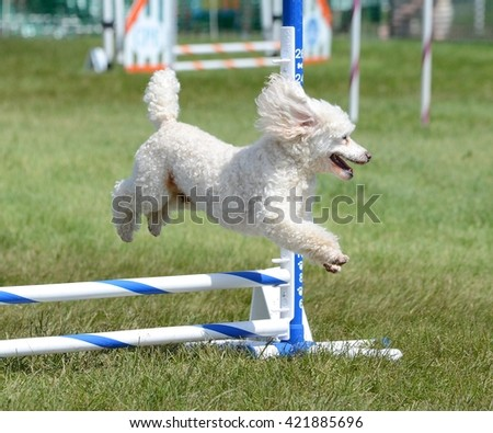 Miniature Poodle Running Leaping Over a Jump at an Agility Trial - stock photo