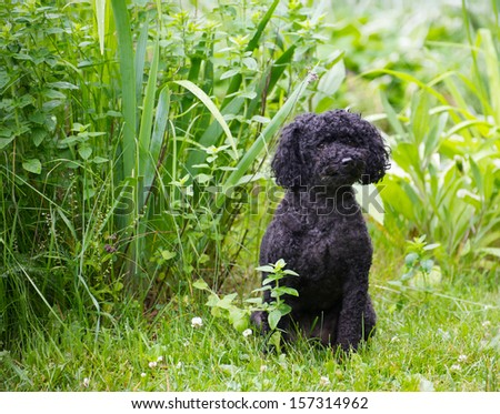 Miniature poodle with his summer haircut posing by the garden in the summer. - stock photo