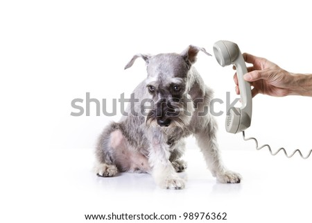 Miniature schnauzer afraid of the phone - stock photo