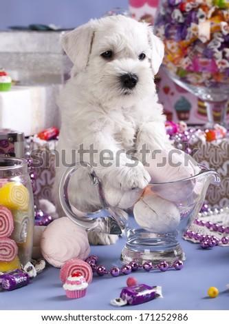 Miniature Schnauzer, candy and dog - stock photo