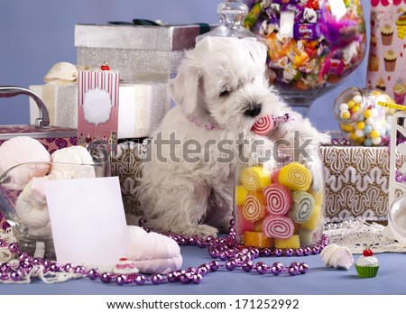 Miniature Schnauzer, candy and dog - stock photo