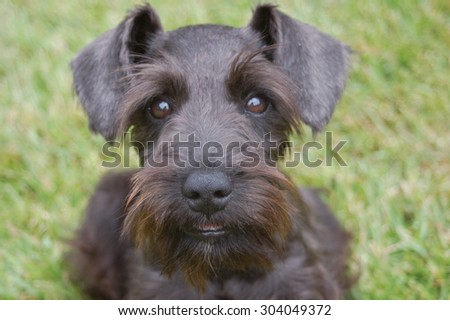 Miniature Schnauzer Dog - stock photo