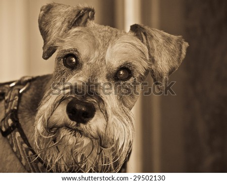 Miniature schnauzer dog gazing into the camera - stock photo