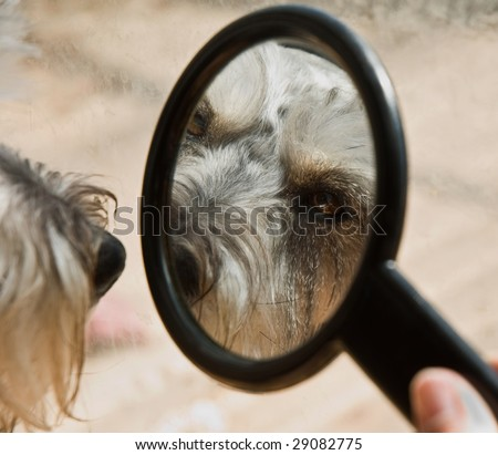 Miniature schnauzer dog looks at his reflection in a small mirror - stock photo
