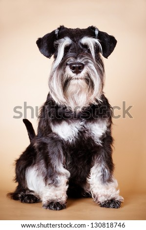 miniature schnauzer dog portrait - stock photo