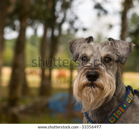 Miniature schnauzer dog portrait in a rural setting - stock photo
