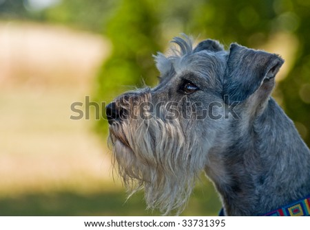 Miniature schnauzer dog profile image in front of green background outdoors - stock photo