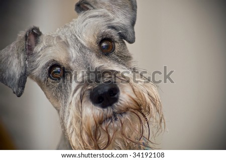 Miniature schnauzer dog with adorable brown eyes