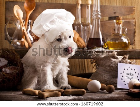 Miniature Schnauzer  in chef's hat, cook puppies - stock photo
