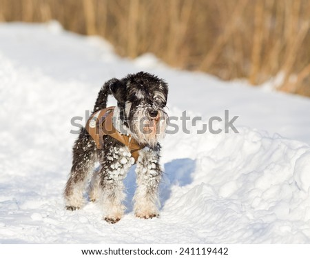 Miniature schnauzer in leather jacket on the snow  - stock photo