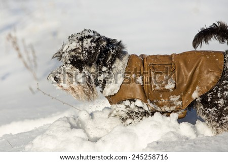 Miniature schnauzer in leather jacket playing on the snow - stock photo