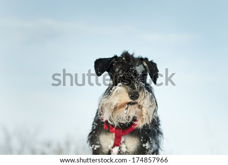 Miniature schnauzer portrait with snow on whiskers and head - stock photo