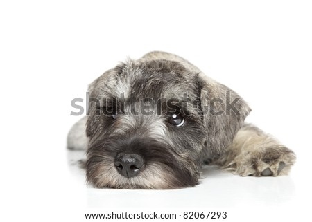 Miniature schnauzer puppy. Close-up portrait on a white background