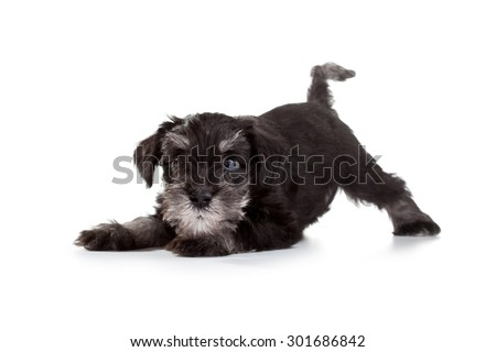 Miniature Schnauzer Puppy over White Background - stock photo