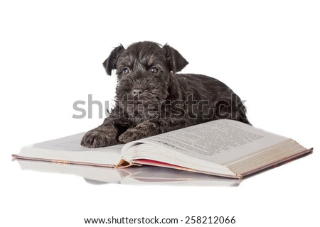 Miniature schnauzer puppy with a book - stock photo